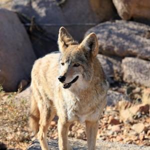 USA Arizona Coyote ( Copyright  Thomas Barrat )