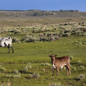 Cattle at Brush Creek Ranch