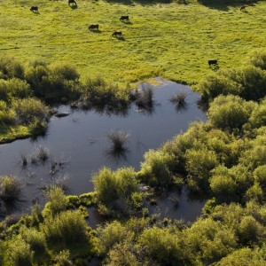 Brush Creek and cattle