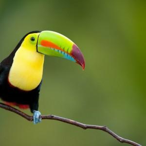 TOUCAN COSTA RICA PARC NATIONAL ©Eduardo Rivero